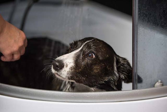 Dogs sense when you're about to give them a bath