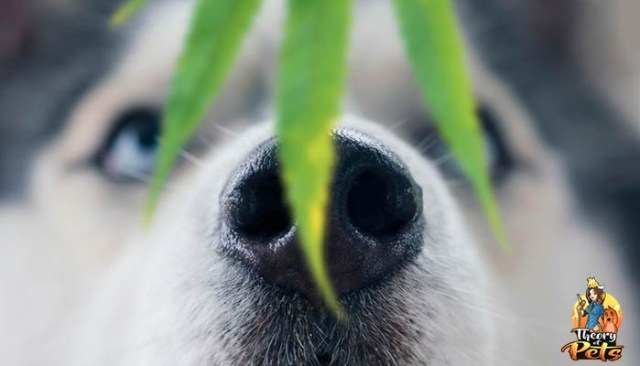 The Benefits of CBD for Dogs - Podcast