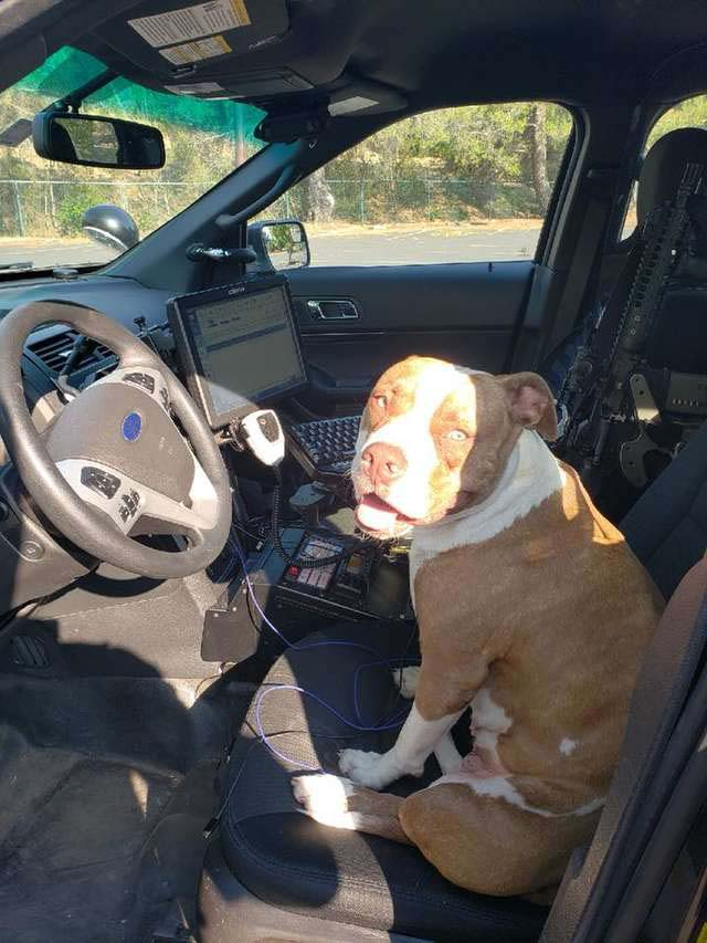 The lost pit bull is waiting in a cop car