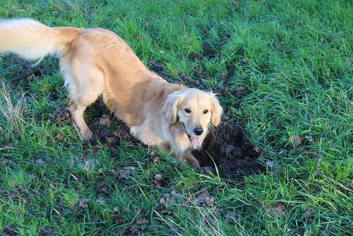 Digging in Dogs