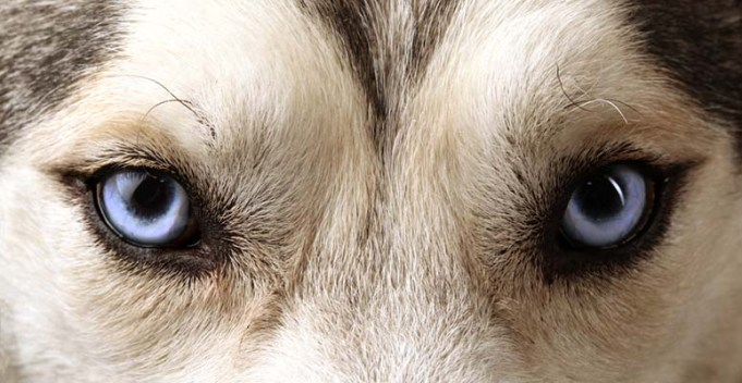 New DNA Test Finds Answers to Why Siberian Huskies Have Blue Eyes