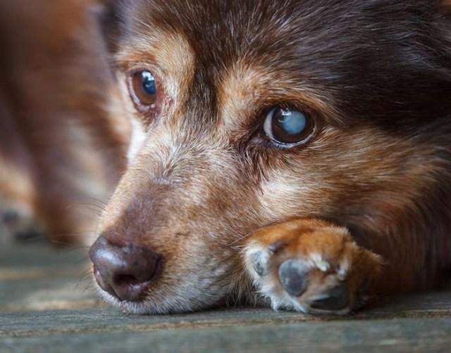 Progressive Retinal Atrophy in Dogs (PRA)