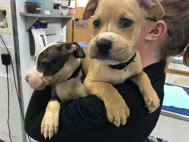 Resilient Pit Bull Siblings Muzzled with Hair Bands and Abandoned