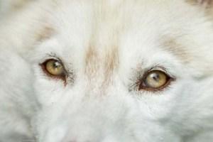 Siberian Husky Puppy's Eye Color May Change