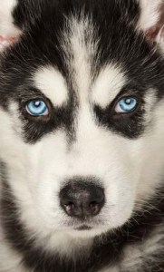 The Origin of Blue Eyes in Dogs and Siberian Huskies