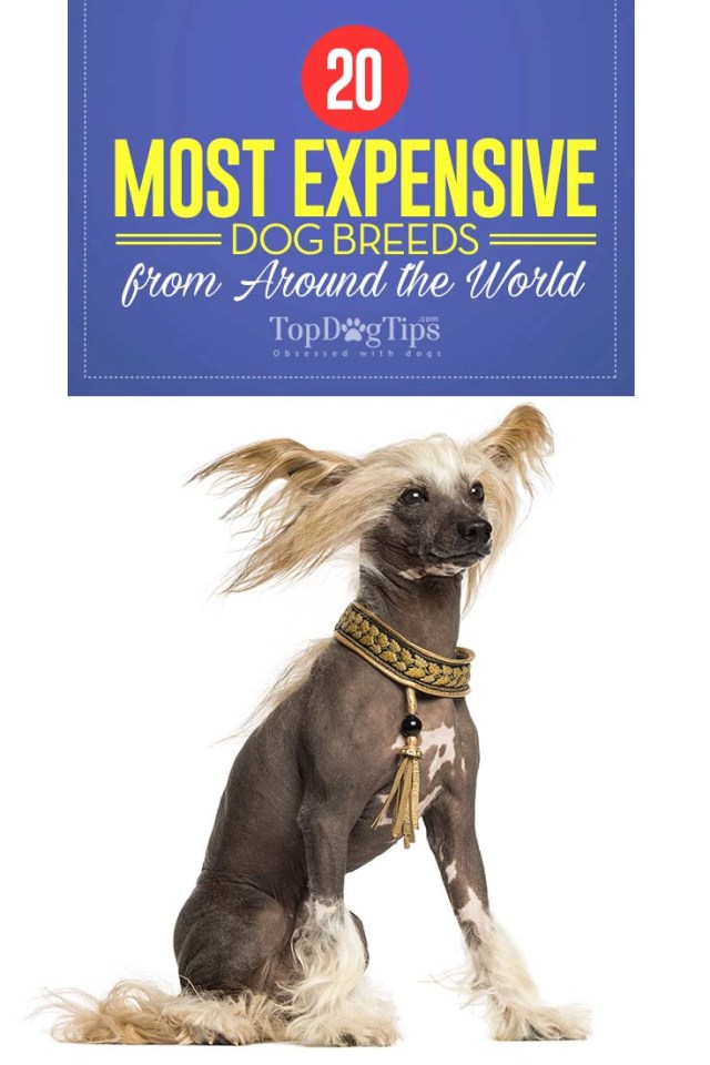 Top 20 Most Expensive Dog Breeds in the World