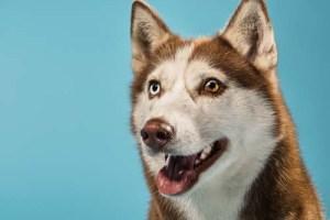 Understanding Heterochromia or Bi-Eye in Huskies
