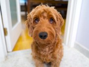 What are Designer Dogs and Should You Adopt Them