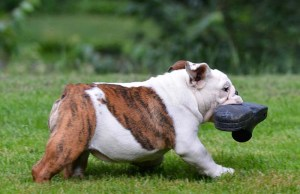 Why Do Dogs Steal Things and How to Stop It