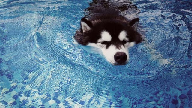 Alaskan Malamute dogs are some of the worst swimmers