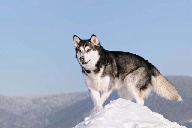 Alaskan Malamute is among the true American dog breeds