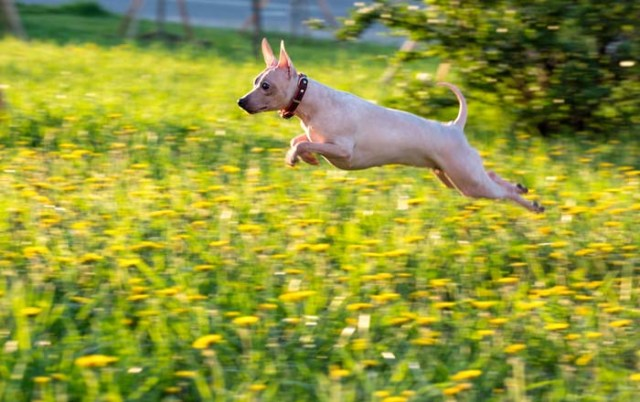 American Hairless Terrier is among the true American dog breeds