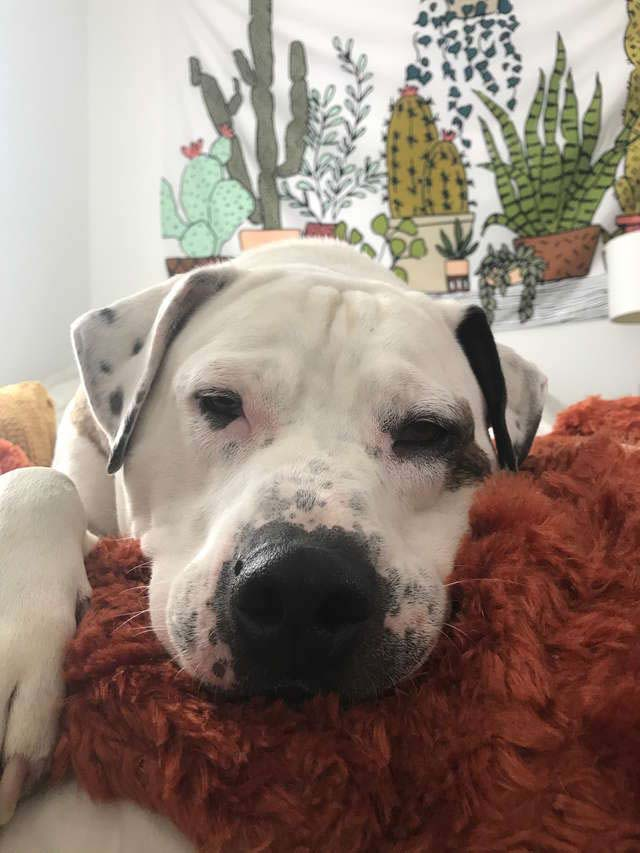 Bentley, the bulldog mix, arrived in the Pennsylvania shelter on October 2016 after the Humane Law Enforcement rescued him from his former owners.