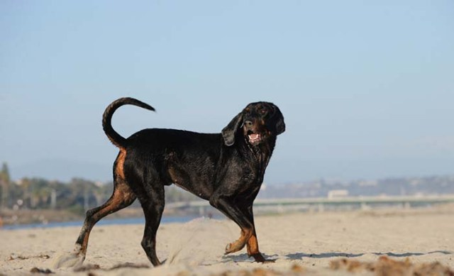 Black and Tan Coonhound is among the true American dog breeds