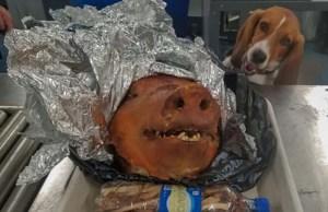 Border Patrol Beagle Defends Us Against African Swine Fever