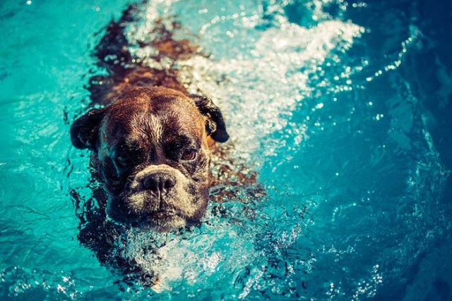 Boxer dogs are some of the worst swimmers
