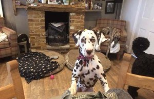 Dalmatian Puppy with Deadly Disease Purchased Online Gets a Second Chance with New Mom