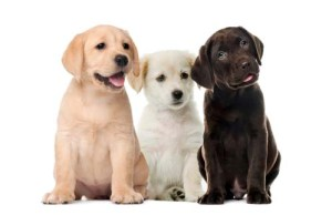 Importance of Dogs' Coat Color