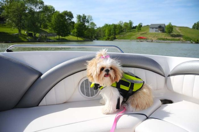 Shih Tzu dogs are some of the worst swimmers