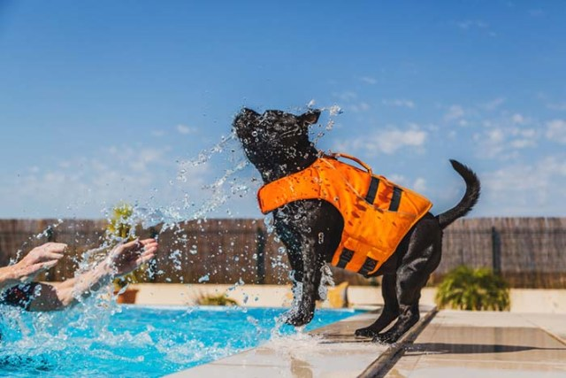 Staffordshire Bull Terrier dogs are some of the worst swimmers