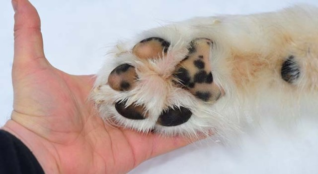 Ways of Protecting Dog Paws in Winter