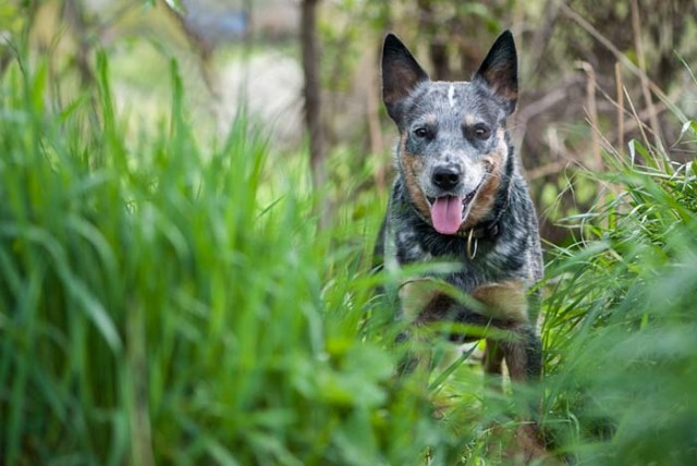 Australian Cattle Dog Health