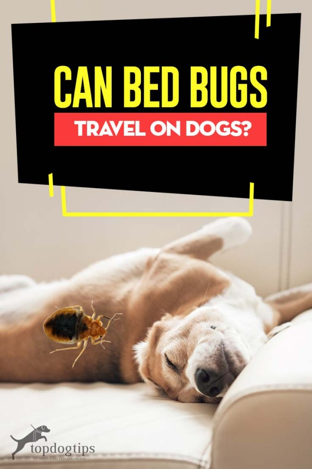 Can Bed Bugs Travel on Dogs - Here's What to Know