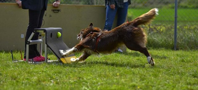 Flyball Dog Sports