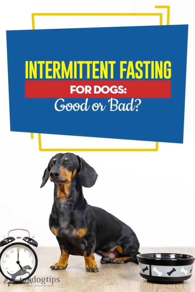 Guide on Intermittent Fasting for Dogs - Good or Bad