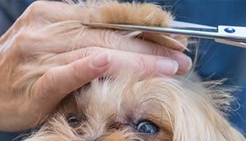 Shaving dog face