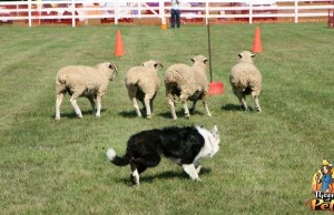 What Are Sheepdog Trials and Are They Safe