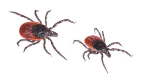 Brown Deer Tick - Rocky Mountain Spotted Fever