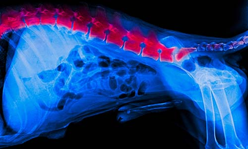 Causes of Dog Spine Problems
