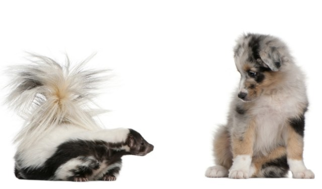 how to get rid of skunk smell on dogs