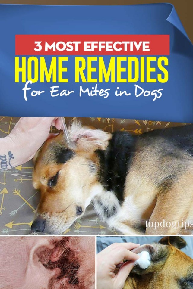 3 Best Home Remedies for Ear Mites in Dogs