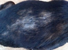 Dog Hair Loss - 5 Reasons Why It Happens and What To Do