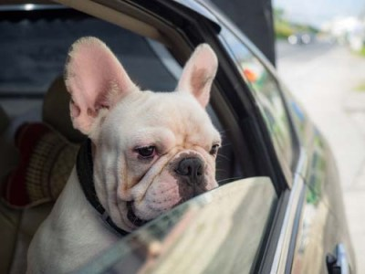 Motion Sickness in the Car in dogs