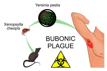 plague is infectious and can be transferred to humans