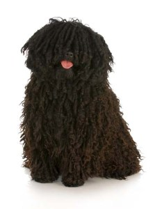 Dogs with Corded Hair