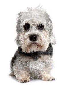 Dogs with Wiry Hair