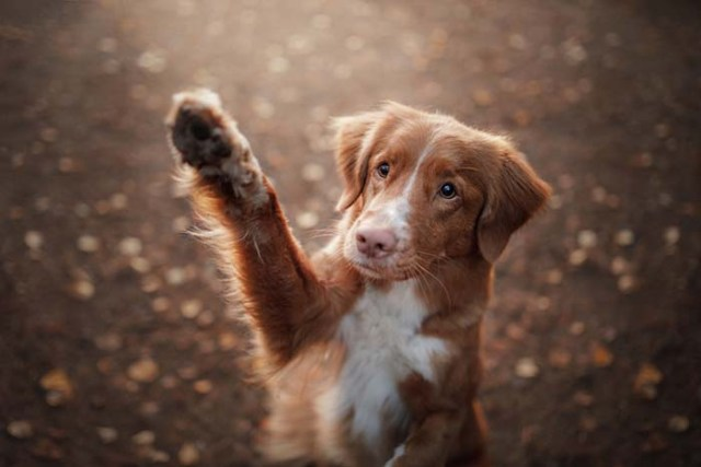 Waving Goodbye dog trick