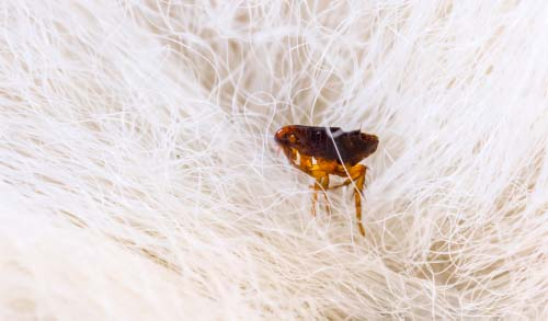 This is what an adult flea looks like