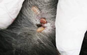 Ticks on a dog
