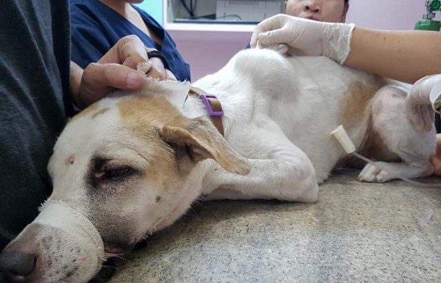 Chemotherapy treatment for tumor in a dog