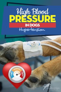 Guide on High Blood Pressure in Dogs (Hypertension)