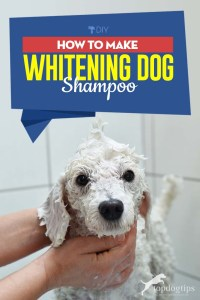 Guide on How to Make Whitening Dog Shampoo