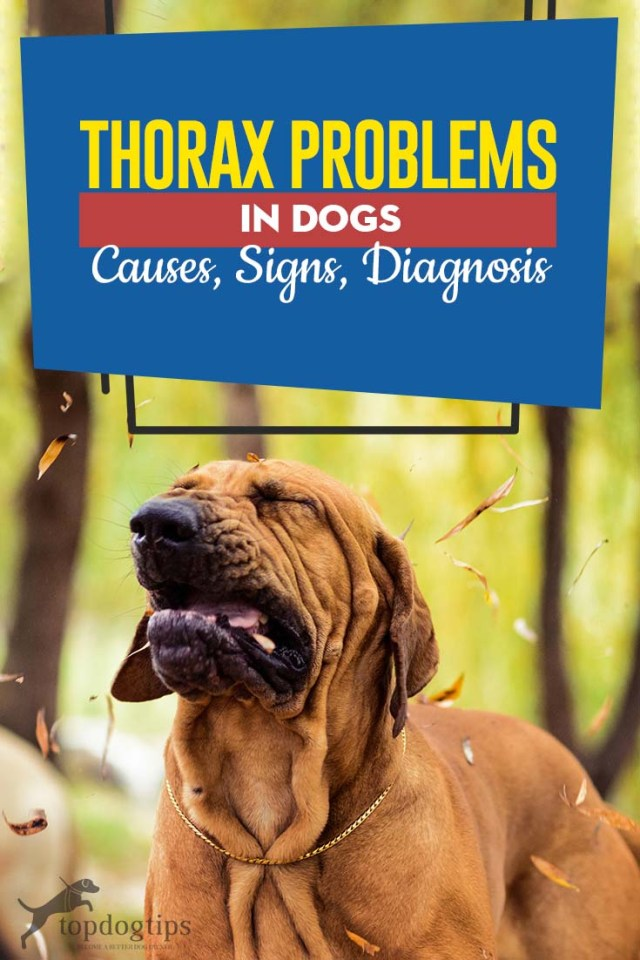 Guide on Thorax Problems in Dogs Causes, Signs, Diagnosis