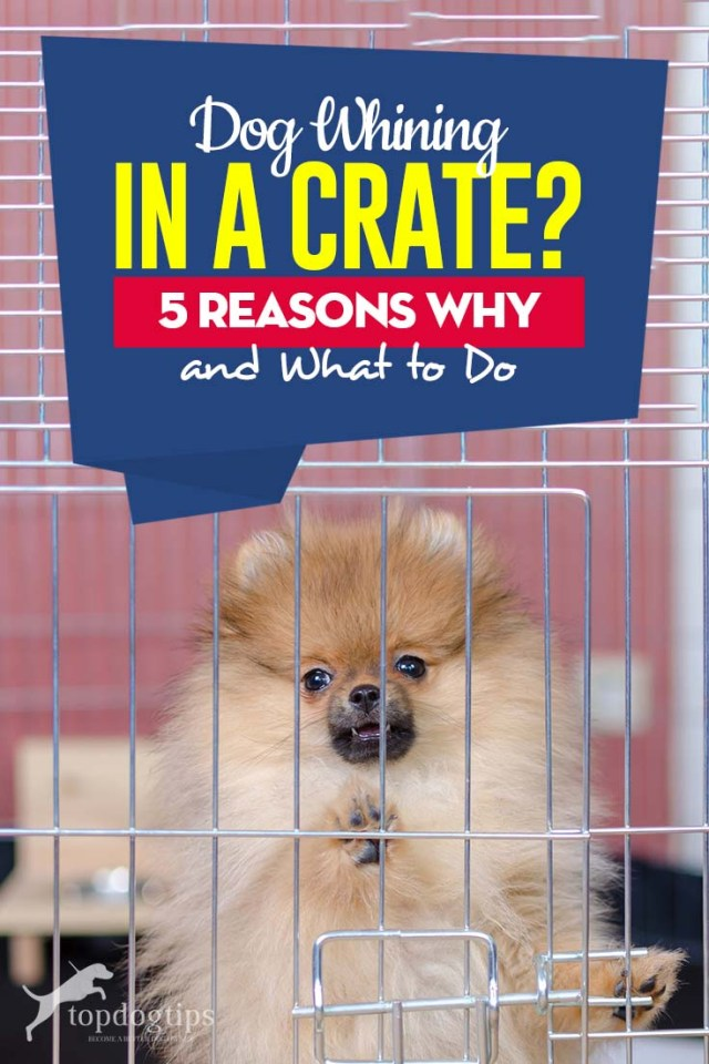 If Dog Whining in Crate - 5 Reasons Why and What to Do