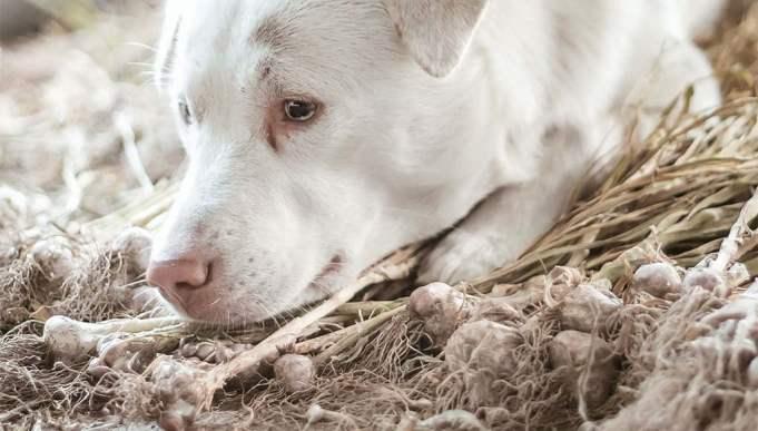 Why Use Garlic in Homemade Dog Food Recipes