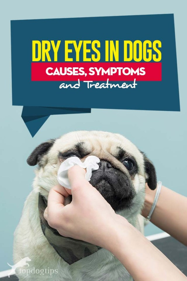 Guide on Dry Eyes in Dogs - Causes, Symptoms and Treatment